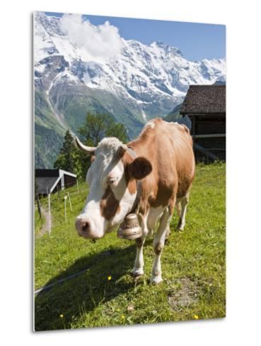 Jungfrau Massif and Cow Near Murren, Jungfrau Region, Switzerland, Europe-Michael DeFreitas-Metal Print