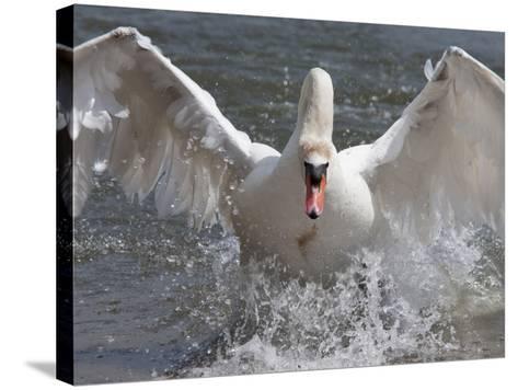 Mute Swan (Cygnus Color), Taking Off, Abbotsbury Swannery, Dorset, England, United Kingdom, Europe-Ann & Steve Toon-Stretched Canvas Print
