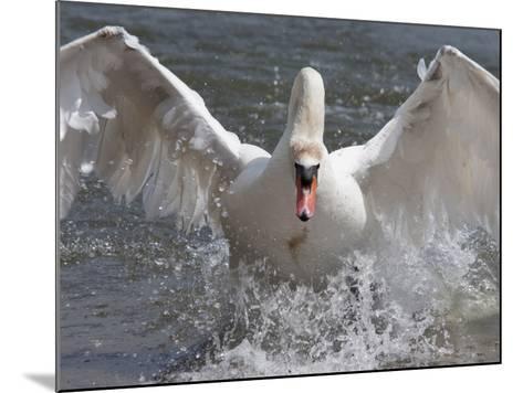 Mute Swan (Cygnus Color), Taking Off, Abbotsbury Swannery, Dorset, England, United Kingdom, Europe-Ann & Steve Toon-Mounted Photographic Print