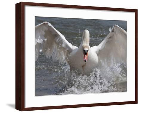 Mute Swan (Cygnus Color), Taking Off, Abbotsbury Swannery, Dorset, England, United Kingdom, Europe-Ann & Steve Toon-Framed Art Print