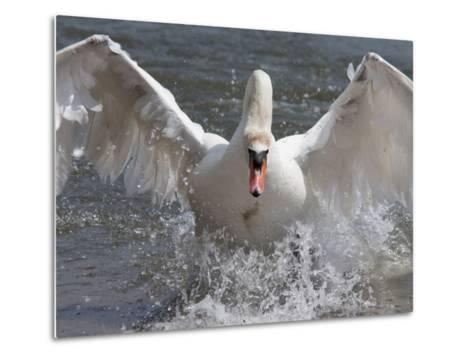 Mute Swan (Cygnus Color), Taking Off, Abbotsbury Swannery, Dorset, England, United Kingdom, Europe-Ann & Steve Toon-Metal Print