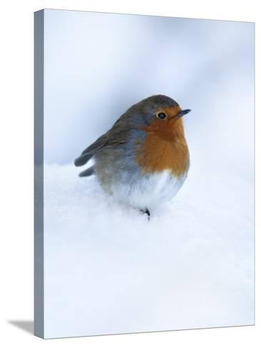 Robin (Erithacus Rubecula), in Snow, United Kingdom, Europe-Ann & Steve Toon-Stretched Canvas Print