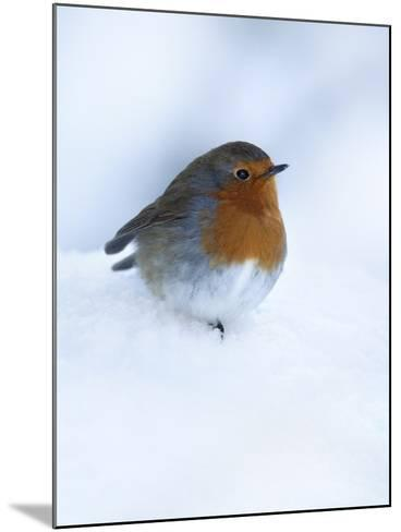 Robin (Erithacus Rubecula), in Snow, United Kingdom, Europe-Ann & Steve Toon-Mounted Photographic Print
