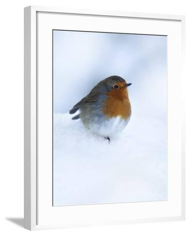 Robin (Erithacus Rubecula), in Snow, United Kingdom, Europe-Ann & Steve Toon-Framed Art Print