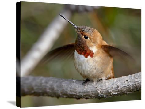 Rufous Hummingbird (Selasphorus Rufus), Near Nanaimo, British Columbia, Canada, North America-James Hager-Stretched Canvas Print