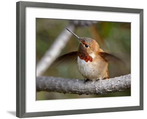 Rufous Hummingbird (Selasphorus Rufus), Near Nanaimo, British Columbia, Canada, North America-James Hager-Framed Art Print