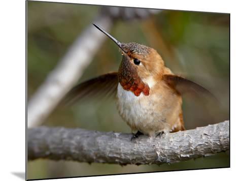Rufous Hummingbird (Selasphorus Rufus), Near Nanaimo, British Columbia, Canada, North America-James Hager-Mounted Photographic Print