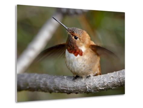 Rufous Hummingbird (Selasphorus Rufus), Near Nanaimo, British Columbia, Canada, North America-James Hager-Metal Print