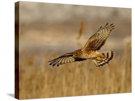 Female Northern Harrier (Circus Cyaneus) in Flight While Hunting, Farmington Bay, Utah, USA-James Hager-Stretched Canvas Print