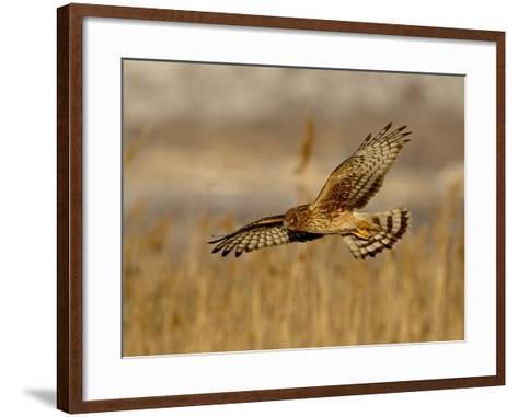 Female Northern Harrier (Circus Cyaneus) in Flight While Hunting, Farmington Bay, Utah, USA-James Hager-Framed Art Print