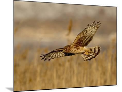Female Northern Harrier (Circus Cyaneus) in Flight While Hunting, Farmington Bay, Utah, USA-James Hager-Mounted Photographic Print