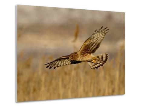 Female Northern Harrier (Circus Cyaneus) in Flight While Hunting, Farmington Bay, Utah, USA-James Hager-Metal Print