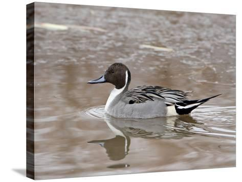 Northern Pintail (Anas Acuta), Bosque Del Apache National Wildlife Refuge, New Mexico, USA-James Hager-Stretched Canvas Print