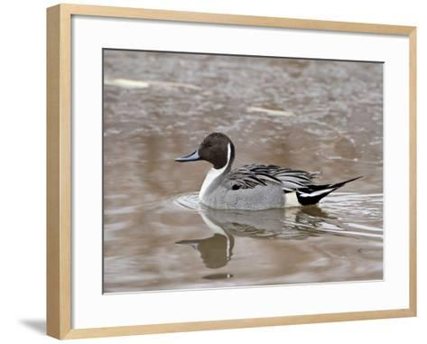 Northern Pintail (Anas Acuta), Bosque Del Apache National Wildlife Refuge, New Mexico, USA-James Hager-Framed Art Print