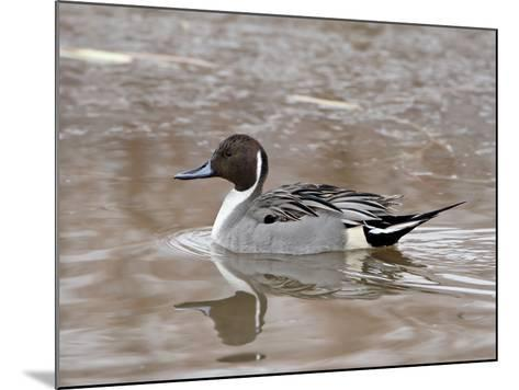 Northern Pintail (Anas Acuta), Bosque Del Apache National Wildlife Refuge, New Mexico, USA-James Hager-Mounted Photographic Print