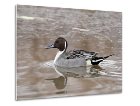Northern Pintail (Anas Acuta), Bosque Del Apache National Wildlife Refuge, New Mexico, USA-James Hager-Metal Print