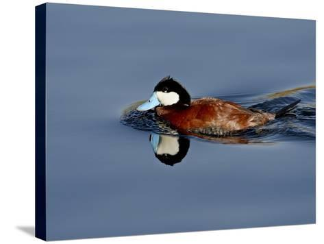 Male Ruddy Duck (Oxyura Jamaicensis) Swimming, Sweetwater Wetlands, Tucson, Arizona, USA-James Hager-Stretched Canvas Print