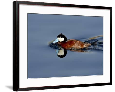Male Ruddy Duck (Oxyura Jamaicensis) Swimming, Sweetwater Wetlands, Tucson, Arizona, USA-James Hager-Framed Art Print