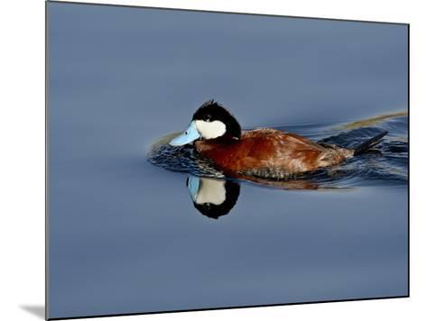 Male Ruddy Duck (Oxyura Jamaicensis) Swimming, Sweetwater Wetlands, Tucson, Arizona, USA-James Hager-Mounted Photographic Print