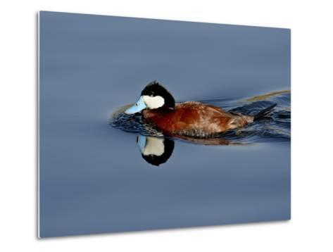 Male Ruddy Duck (Oxyura Jamaicensis) Swimming, Sweetwater Wetlands, Tucson, Arizona, USA-James Hager-Metal Print