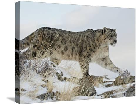 Snow Leopard (Uncia Uncia), in Captivity, Near Bozeman, Montana, USA-James Hager-Stretched Canvas Print