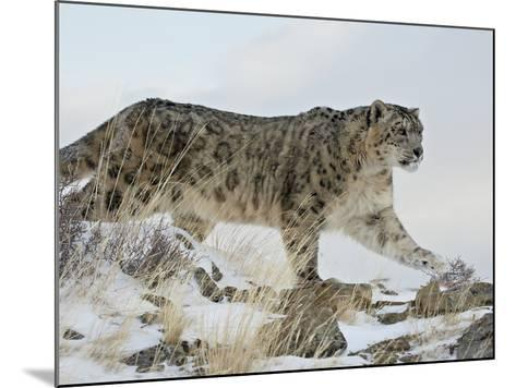 Snow Leopard (Uncia Uncia), in Captivity, Near Bozeman, Montana, USA-James Hager-Mounted Photographic Print