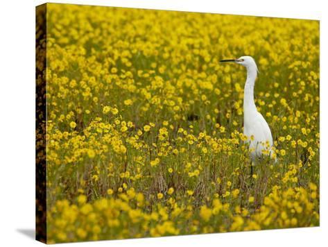 Snowy Egret (Egretta Thula) Among Goldfields, San Jacinto Wildlife Area, California-James Hager-Stretched Canvas Print