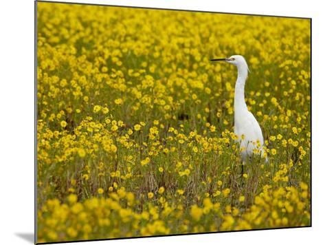 Snowy Egret (Egretta Thula) Among Goldfields, San Jacinto Wildlife Area, California-James Hager-Mounted Photographic Print