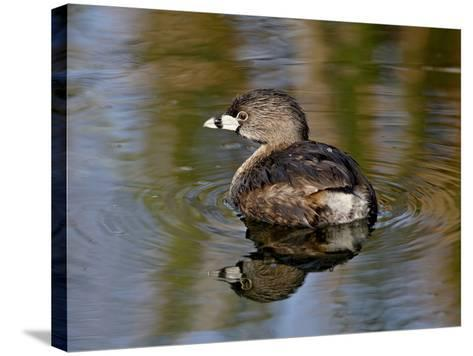 Pied-Billed Grebe (Podilymbus Podiceps), Sweetwater Wetlands, Tucson, Arizona-James Hager-Stretched Canvas Print