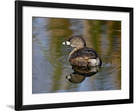 Pied-Billed Grebe (Podilymbus Podiceps), Sweetwater Wetlands, Tucson, Arizona-James Hager-Framed Art Print