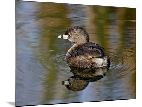 Pied-Billed Grebe (Podilymbus Podiceps), Sweetwater Wetlands, Tucson, Arizona-James Hager-Mounted Photographic Print