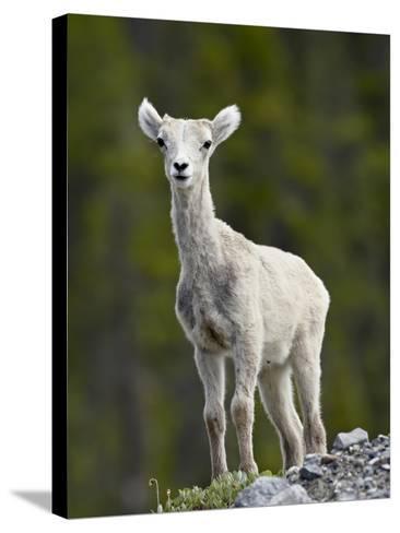 Stone Sheep (Ovis Dalli Stonei) Lamb, Muncho Lake Provincial Park, British Columbia, Canada-James Hager-Stretched Canvas Print