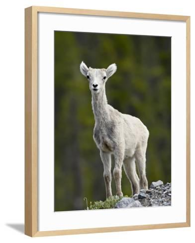 Stone Sheep (Ovis Dalli Stonei) Lamb, Muncho Lake Provincial Park, British Columbia, Canada-James Hager-Framed Art Print