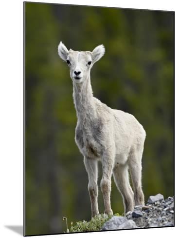 Stone Sheep (Ovis Dalli Stonei) Lamb, Muncho Lake Provincial Park, British Columbia, Canada-James Hager-Mounted Photographic Print