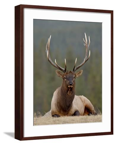 Bull Elk (Cervus Canadensis), Jasper National Park, Alberta, Canada, North America-James Hager-Framed Art Print
