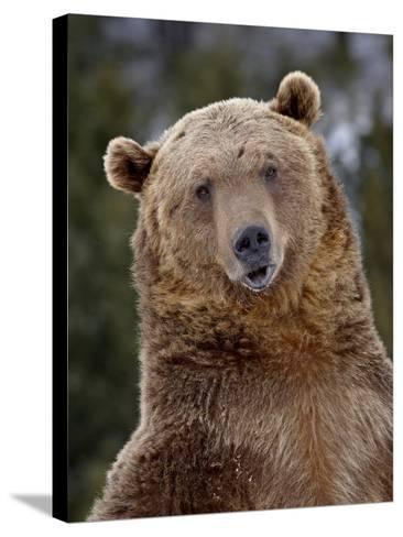 Grizzly Bear (Ursus Arctos Horribilis) in Captivity, Near Bozeman, Montana, USA-James Hager-Stretched Canvas Print