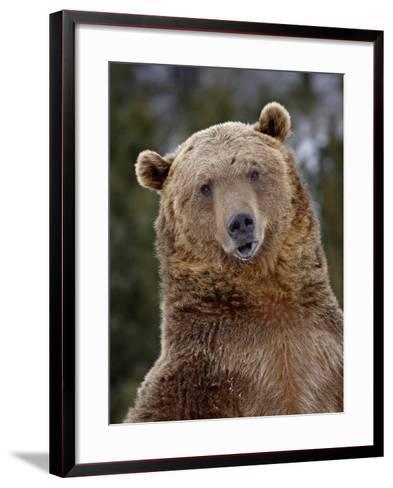 Grizzly Bear (Ursus Arctos Horribilis) in Captivity, Near Bozeman, Montana, USA-James Hager-Framed Art Print