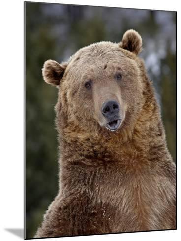 Grizzly Bear (Ursus Arctos Horribilis) in Captivity, Near Bozeman, Montana, USA-James Hager-Mounted Photographic Print