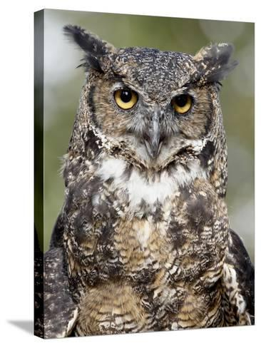 Great Horned Owl (Bubo Virginianus) in Captivity, Wasilla, Alaska, USA-James Hager-Stretched Canvas Print
