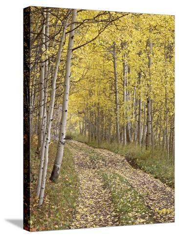 Lane Through Fall Aspens, Ophir Pass, Uncompahgre National Forest, Colorado, USA-James Hager-Stretched Canvas Print
