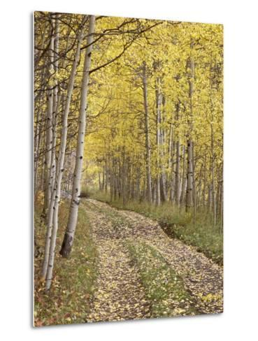 Lane Through Fall Aspens, Ophir Pass, Uncompahgre National Forest, Colorado, USA-James Hager-Metal Print