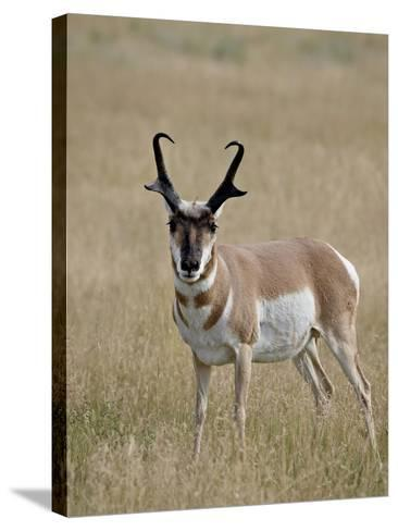 Pronghorn (Antilocapra Americana) Buck, Custer State Park, South Dakota, USA-James Hager-Stretched Canvas Print