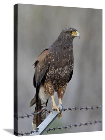 Harris's Hawk (Parabuteo Unicinctus), Sweetwater Wetlands, Tucson, Arizona-James Hager-Stretched Canvas Print