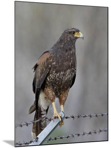 Harris's Hawk (Parabuteo Unicinctus), Sweetwater Wetlands, Tucson, Arizona-James Hager-Mounted Photographic Print