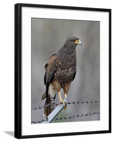 Harris's Hawk (Parabuteo Unicinctus), Sweetwater Wetlands, Tucson, Arizona-James Hager-Framed Art Print