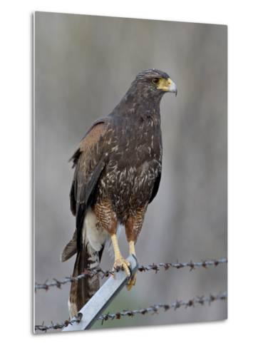 Harris's Hawk (Parabuteo Unicinctus), Sweetwater Wetlands, Tucson, Arizona-James Hager-Metal Print