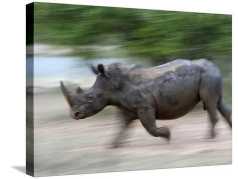 White Rhino (Ceratotherium Simum) Charging, Hlane Royal National Park Game Reserve, Swaziland-Ann & Steve Toon-Stretched Canvas Print