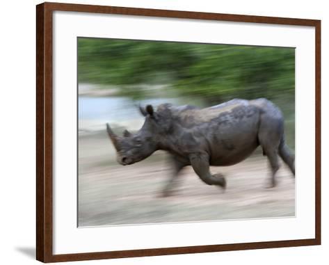 White Rhino (Ceratotherium Simum) Charging, Hlane Royal National Park Game Reserve, Swaziland-Ann & Steve Toon-Framed Art Print