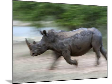 White Rhino (Ceratotherium Simum) Charging, Hlane Royal National Park Game Reserve, Swaziland-Ann & Steve Toon-Mounted Photographic Print