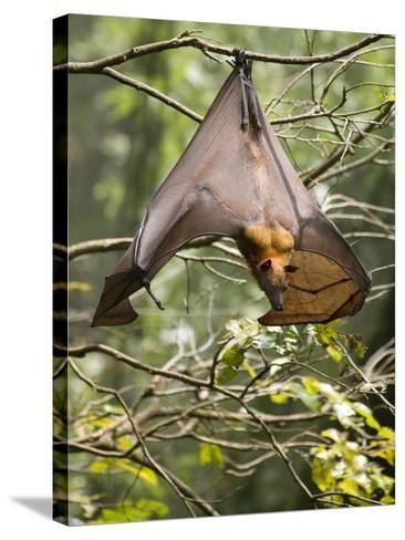 Fruit Bat (Flying Fox) (Chiroptera, Pteropodidae)-Rolf Richardson-Stretched Canvas Print